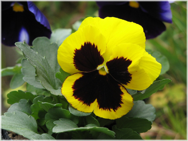 59pansy
