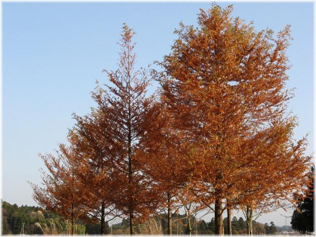 91metasequoia