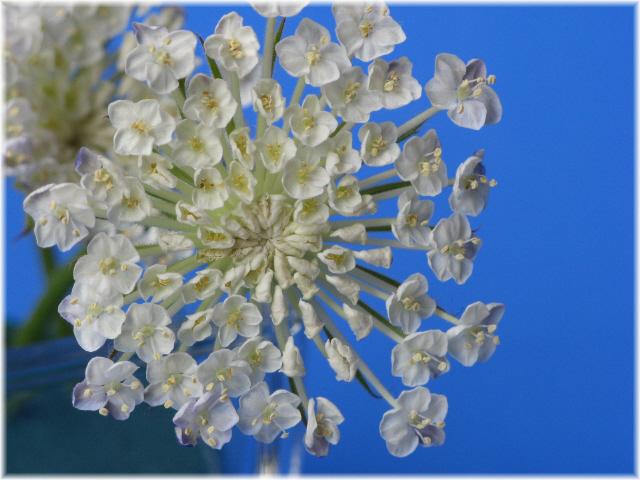 19laceflower_2