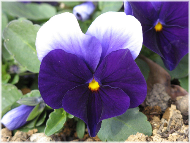 56pansy_2