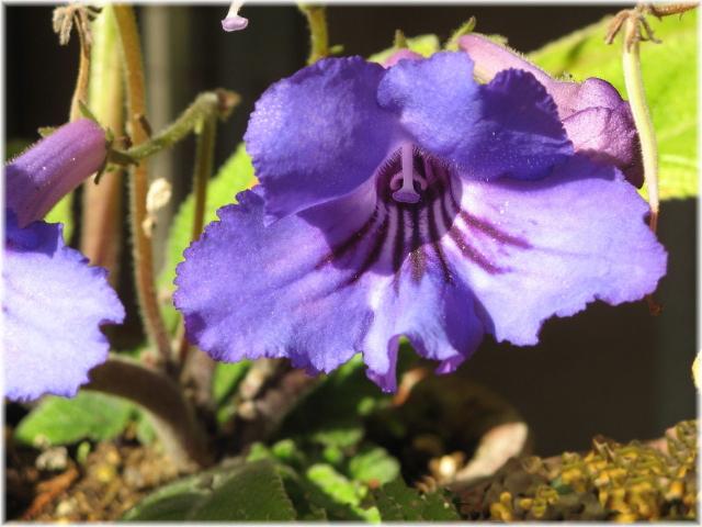 39streptocarpus