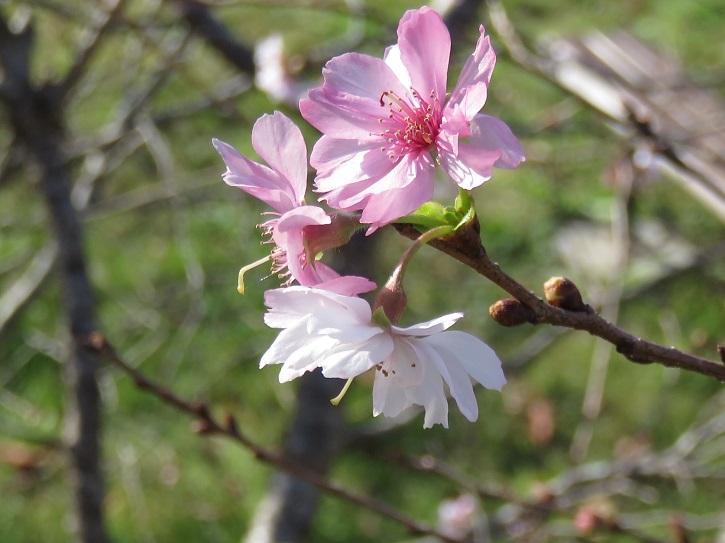 08ugatsuzakura